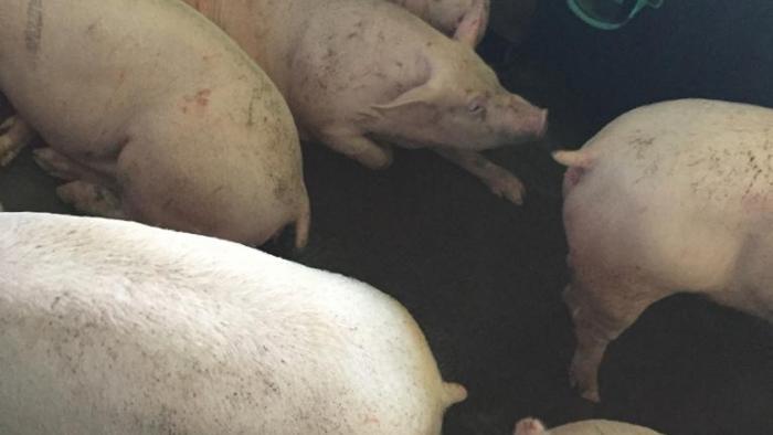 Un éleveur de porcs non déclaré risque gros devant la justice