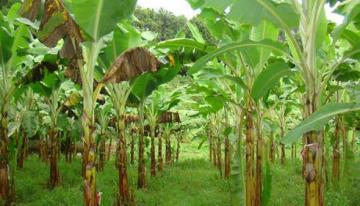Un champignon menace les bananiers de la Caraïbe et de l'Amérique du Sud