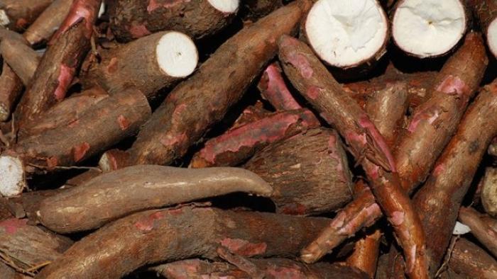 """Le """"manioc"""" mis à l'honneur dans la commune du Lorrain"""