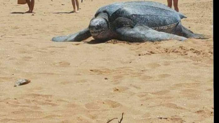 Les tortues Luth sont désormais considérées comme une espèce en danger