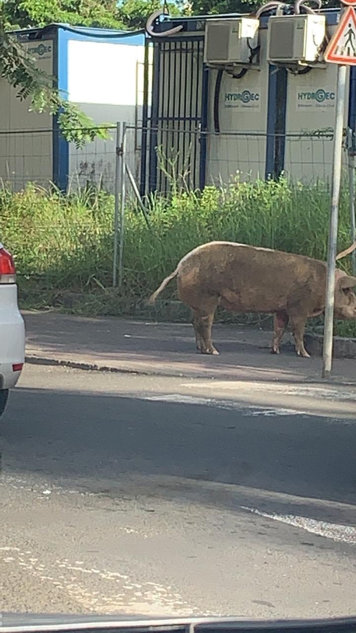 Un cochon  en divagation à Pointe-à-Pitre