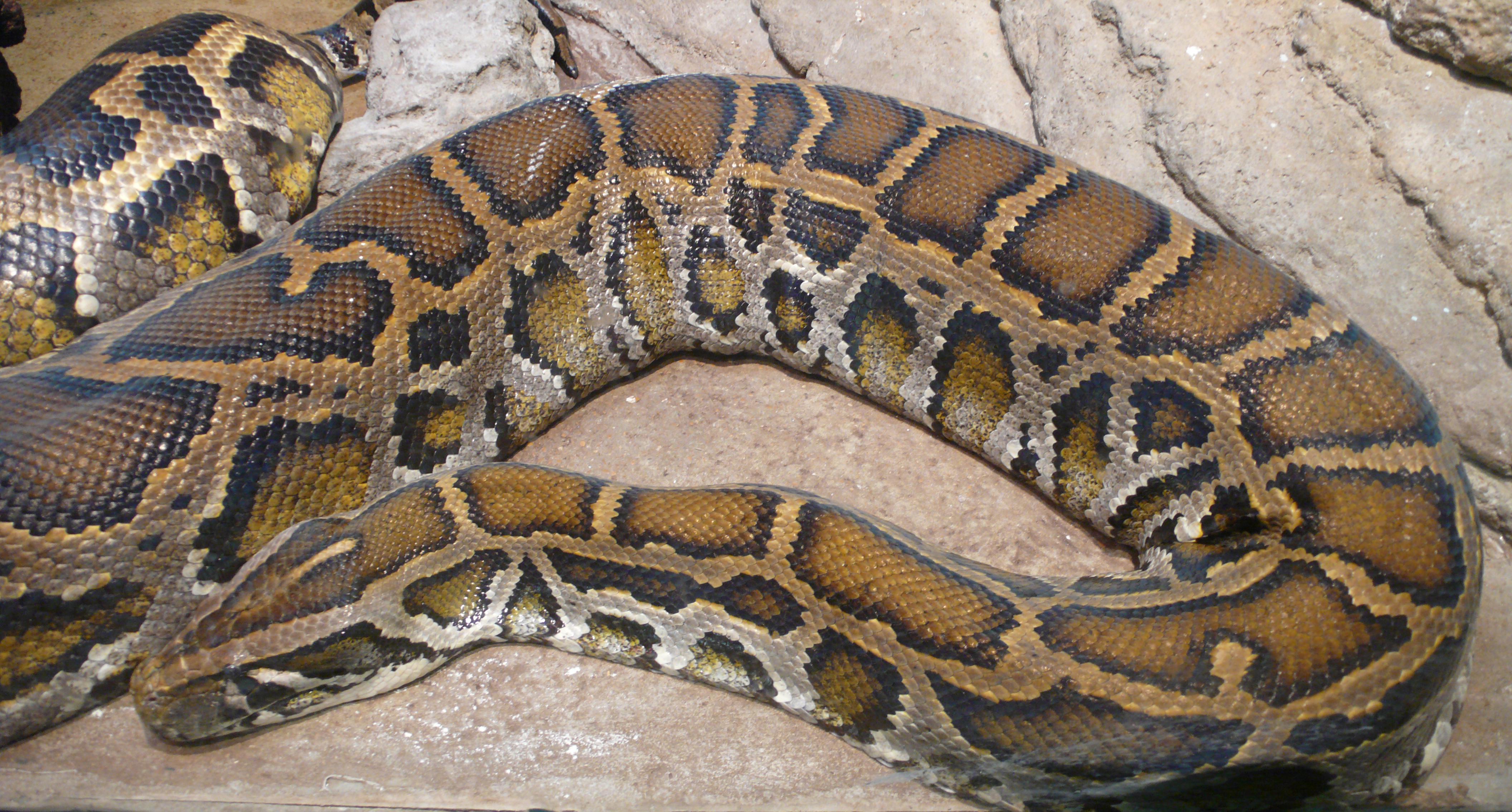 Le serpent de Sainte-Anne pourrait-il être une « mule » ?