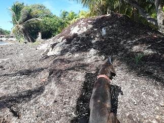 Plage de Galbas: des tas de sargasses pas ramassés depuis deux mois