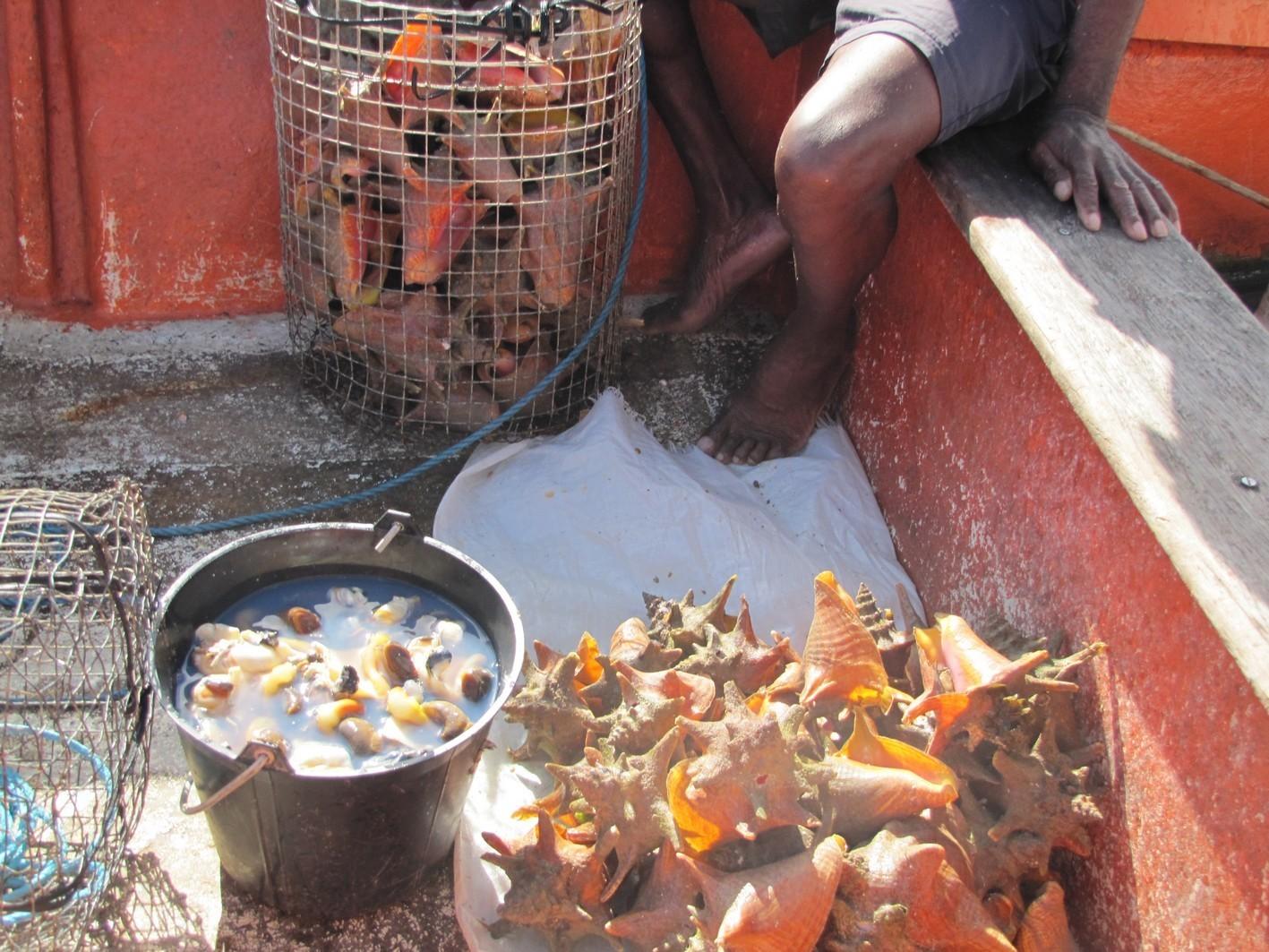 La pêche au lambi est ouverte : une réglementation stricte