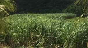 La préfecture demande les RIB des planteurs de canne