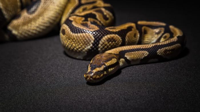 Un python de 1,20 m retrouvé dans un domicile à Bréfort au Lamentin