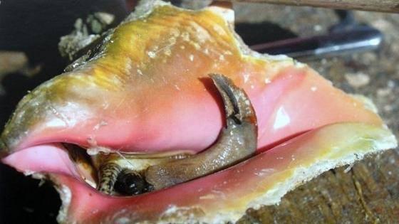 La pêche au lambi interdite cette année