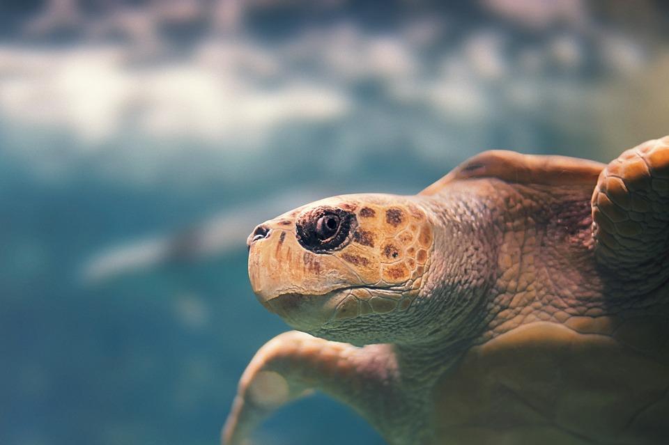 L'ONF fait appel à des bénévoles pour surveiller les pontes de tortues marines