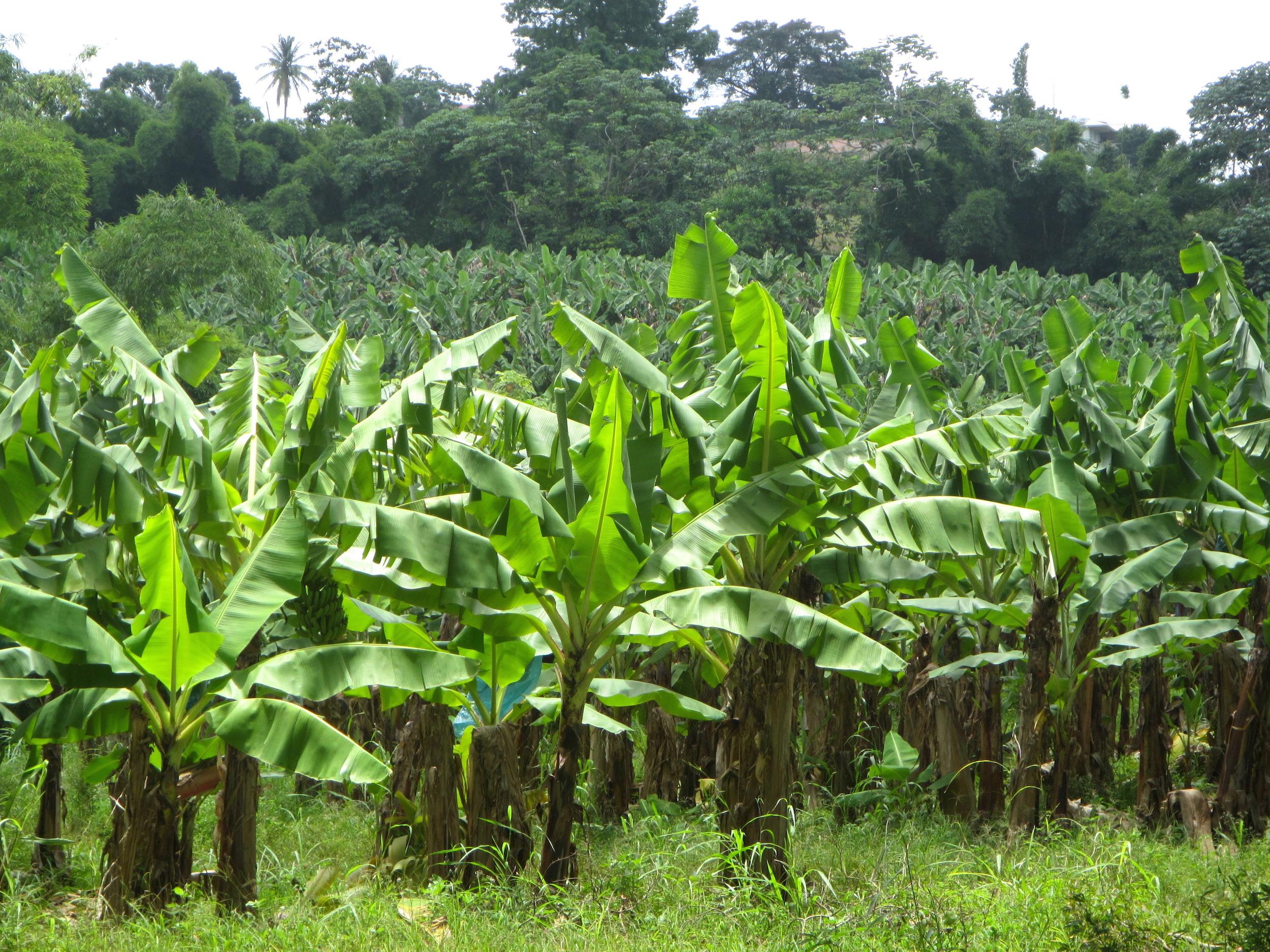 Chlordécone : les ouvriers agricoles de la banane étaient en première ligne