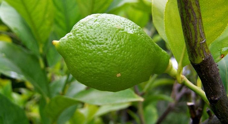 Apprenez à cultiver vos arbres fruitiers dans des pots