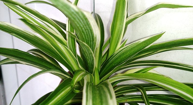 Le chlorophytum, la plante qui purifie votre air