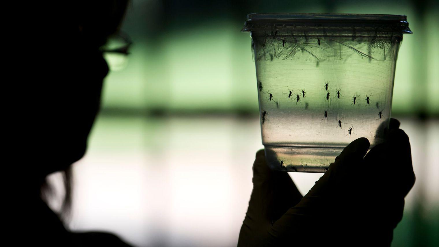Un décès directement lié au virus de la dengue