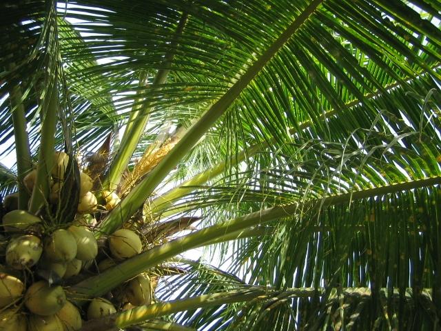 Un septuagénaire se blesse grièvement en chutant d'un cocotier