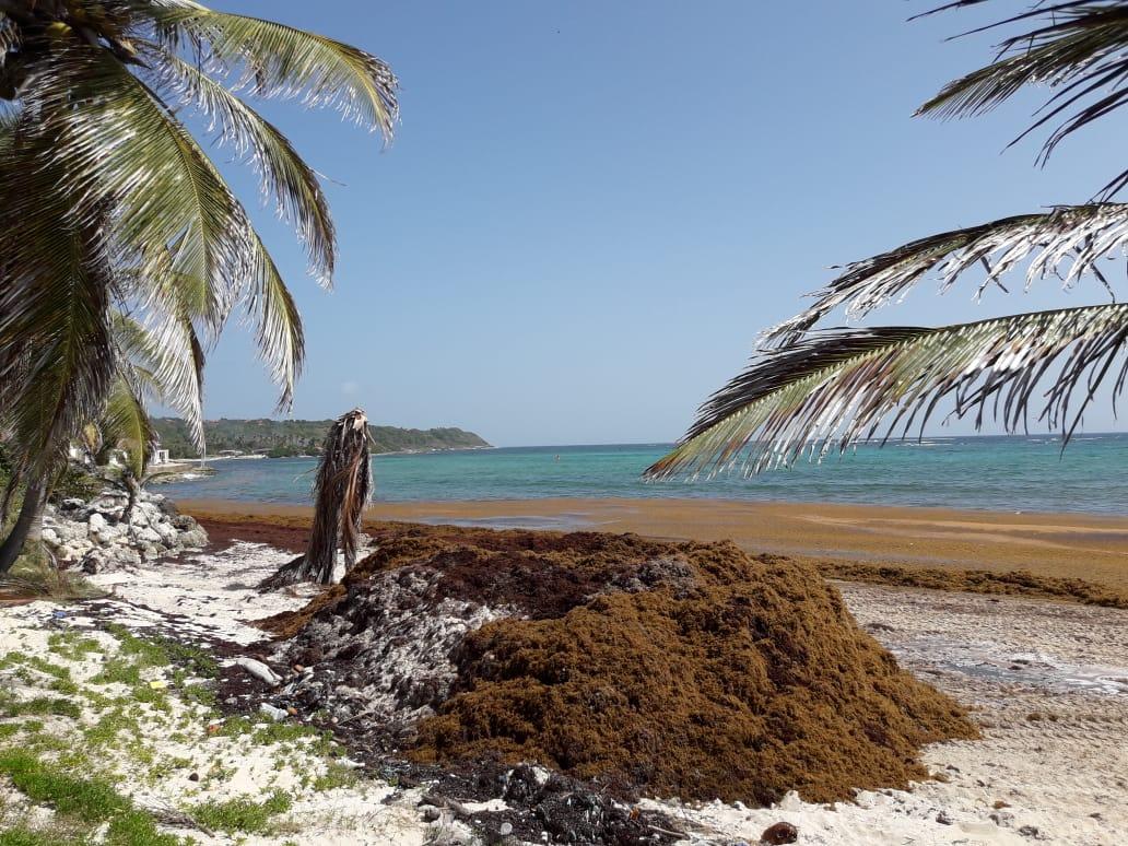 De nombreuses sargasses attendues cette semaine sur nos côtes