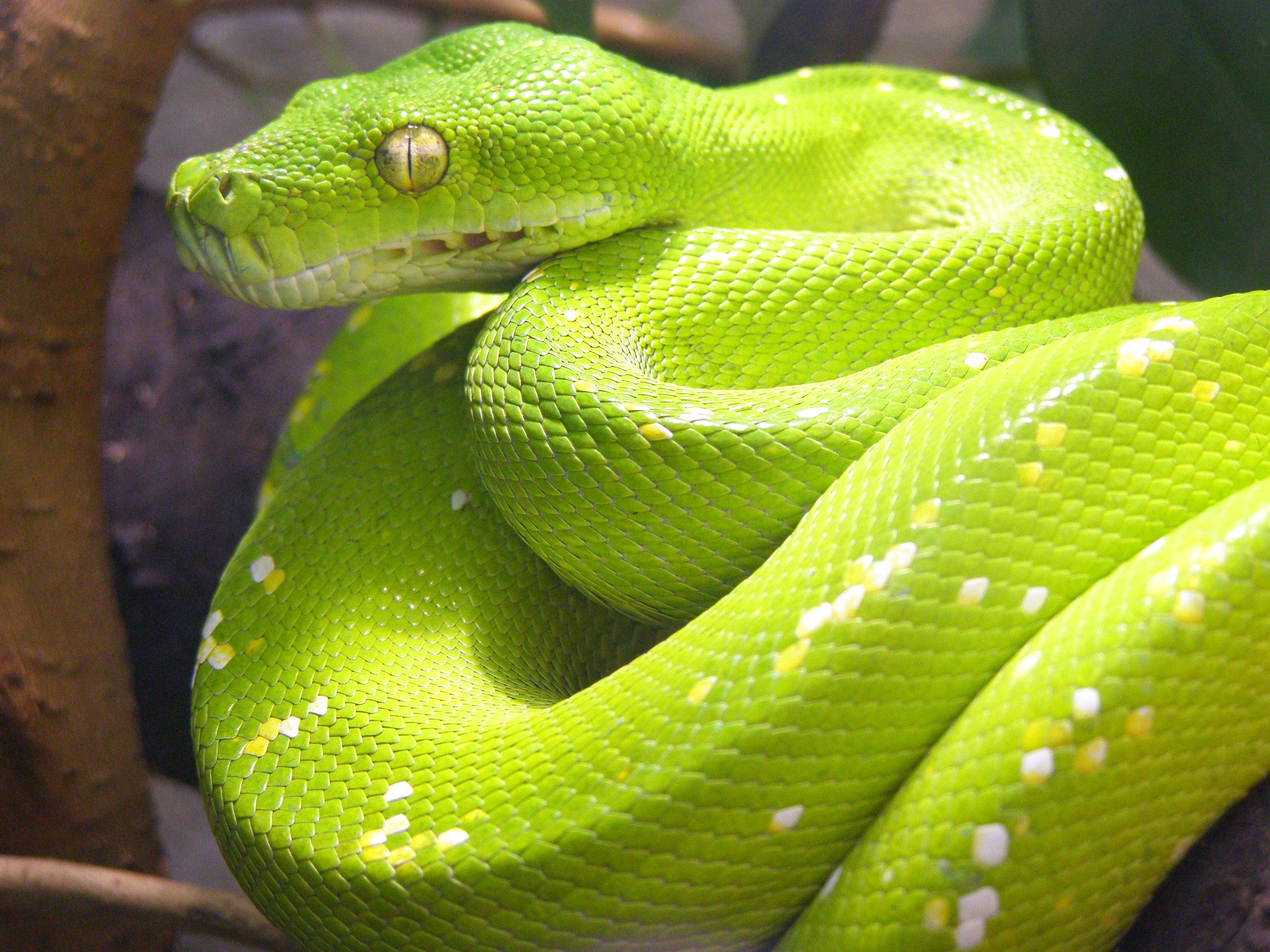 Un python recherché à Morne-à-L'Eau