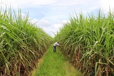 Les inquiétudes de la filière canne sucre rhum s'intensifient