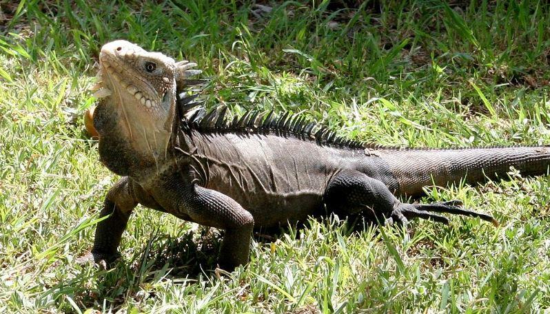 Une étude révèle que 15% de la faune endémique de la Martinique est menacée
