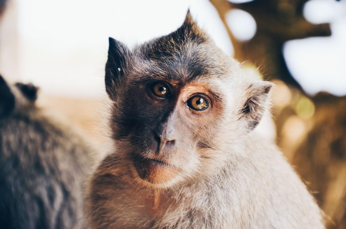 Un singe en divagation aux Abymes