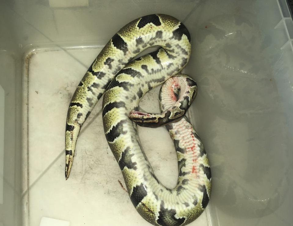 Un serpent retrouvé dans le salon d'un couple de personnes âgées