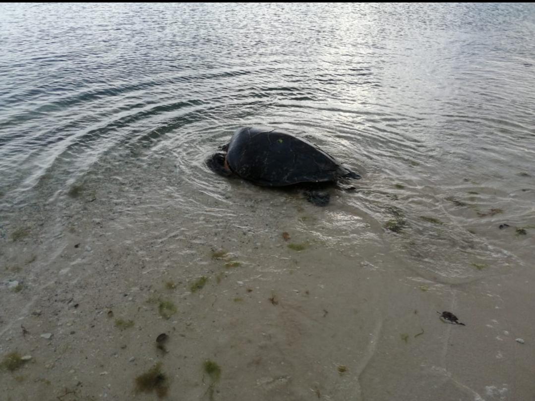 En difficulté, une tortue remise à l'eau par les pompiers