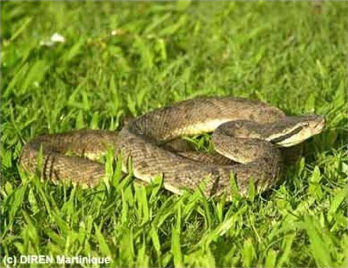 Morsures de serpents : les préconisations du CHUM