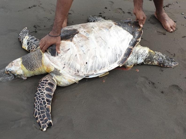 Une grosse tortue retrouvée morte à Vieux-Habitants