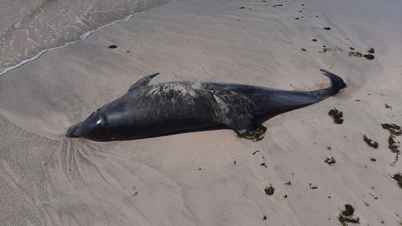 Un dauphin retrouvé mort à Marie-Galante