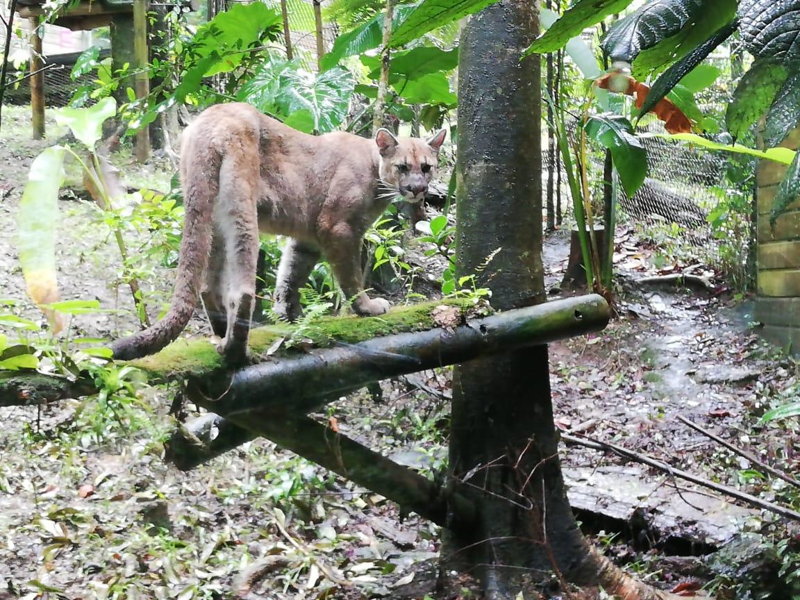 Le Zoo de Guadeloupe accueille une femelle Puma