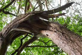 Intempéries : des chutes d'arbres au Lamentin et à Gourbeyre