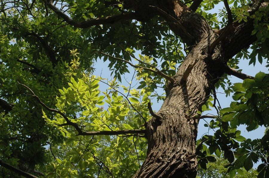 Un homme chute d'un arbre à Capesterre-Belle-Eau