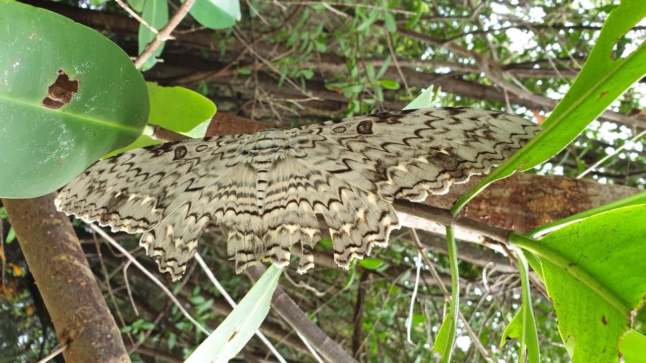 Le plus grand papillon du monde observé en Guadeloupe