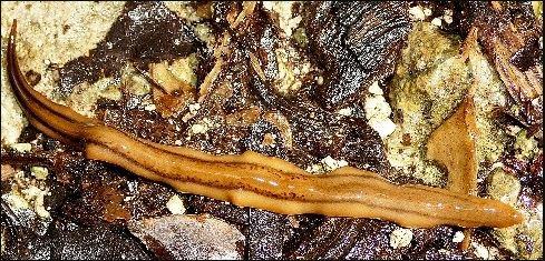 Une nouvelle espèce invasive de ver plat découverte en Guadeloupe et en Martinique