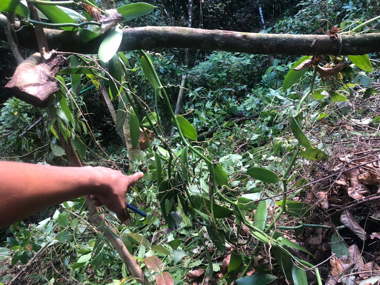 [AUDIO] Des agriculteurs formés à la culture de la vanille