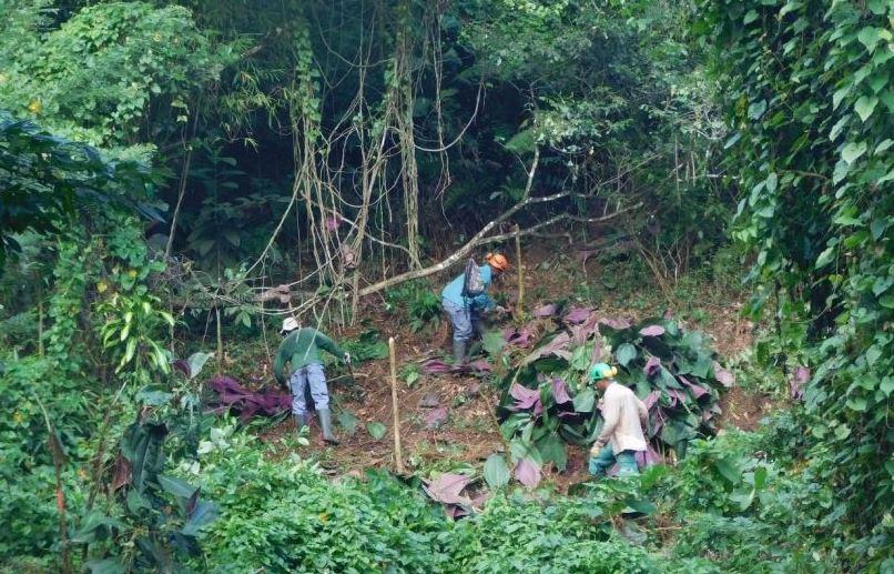 Le Parc Naturel de Martinique lutte contre l'invasion de plantes exotiques envahissantes
