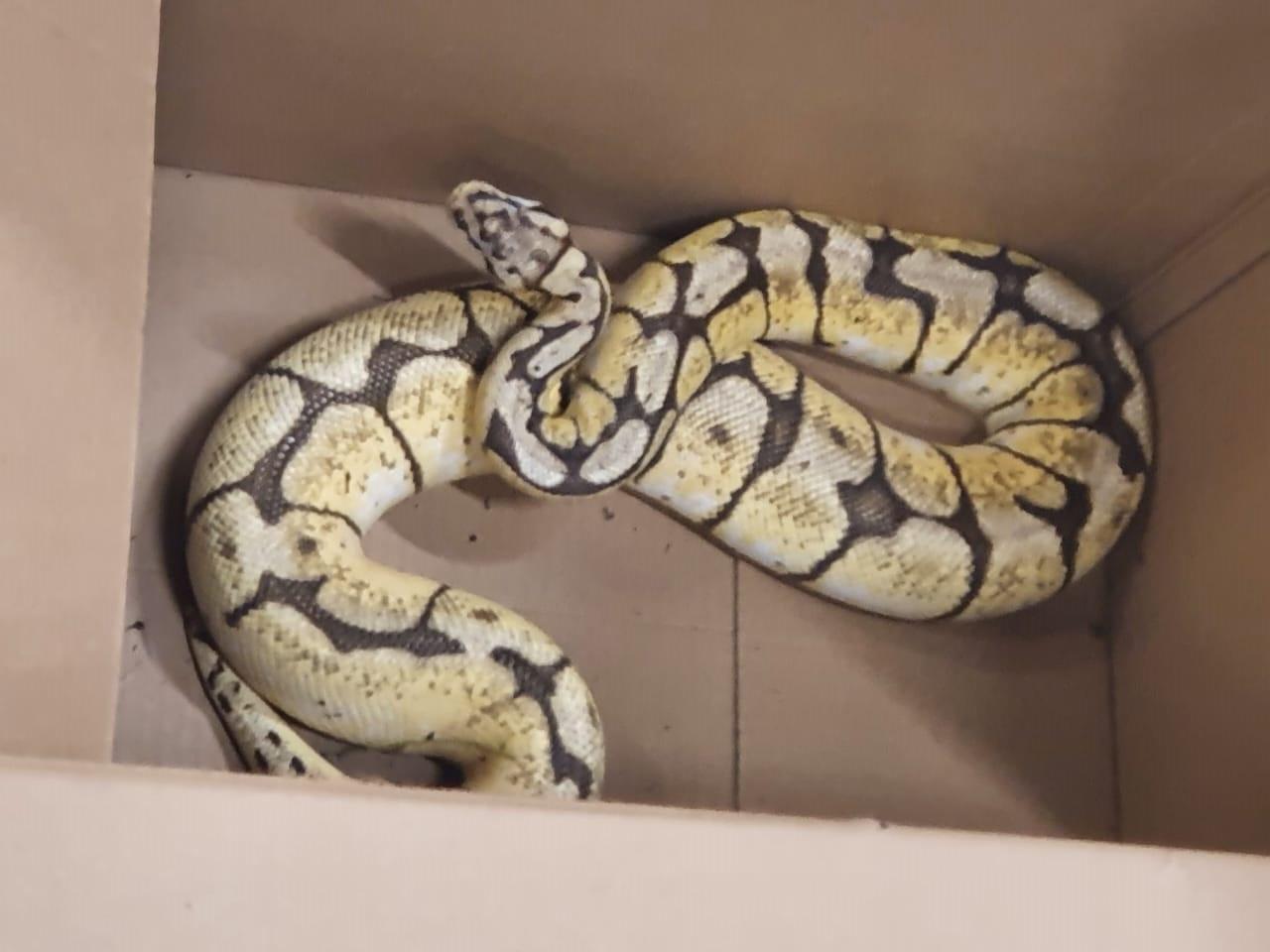 Les secours ont récupéré un serpent sur la voie publique aux Abymes