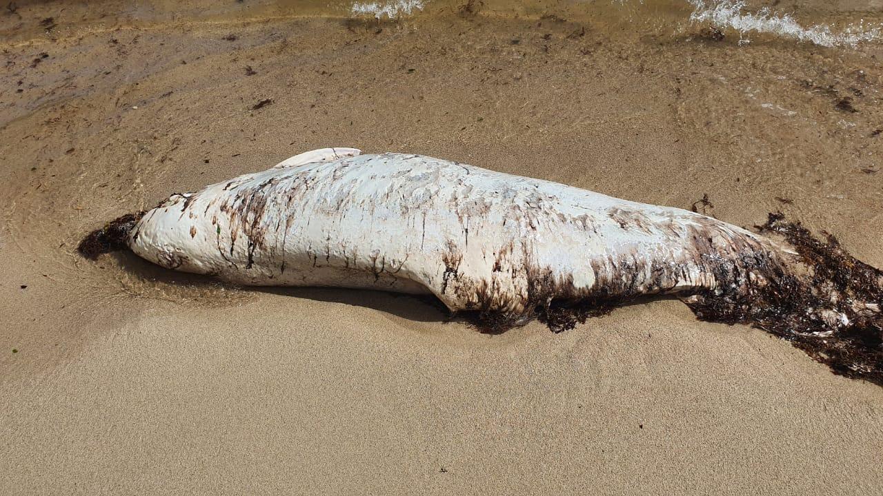 Un dauphin retrouvé mort à Saint-François