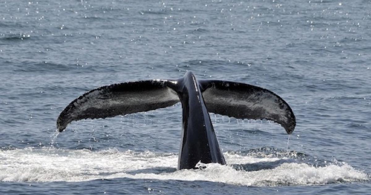 Les baleines sont arrivées!