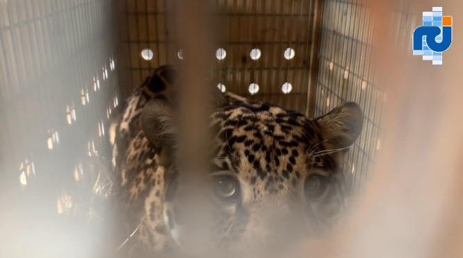 Keeza, la femelle jaguar a pris ses quartiers au zoo de Guadeloupe