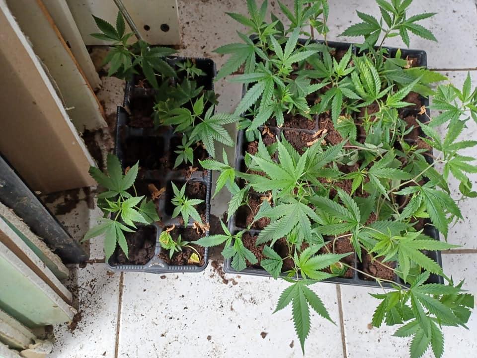 Un trafiquant écroué après la découverte d'une culture de drogue