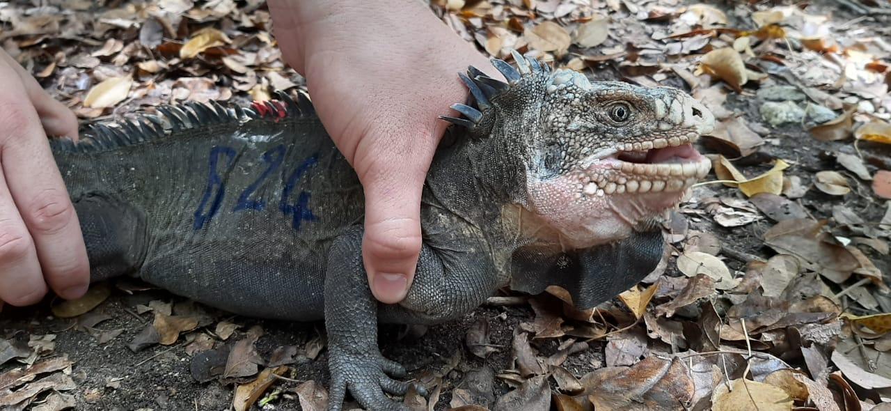 La campagne de protection de l'iguane endémique continue