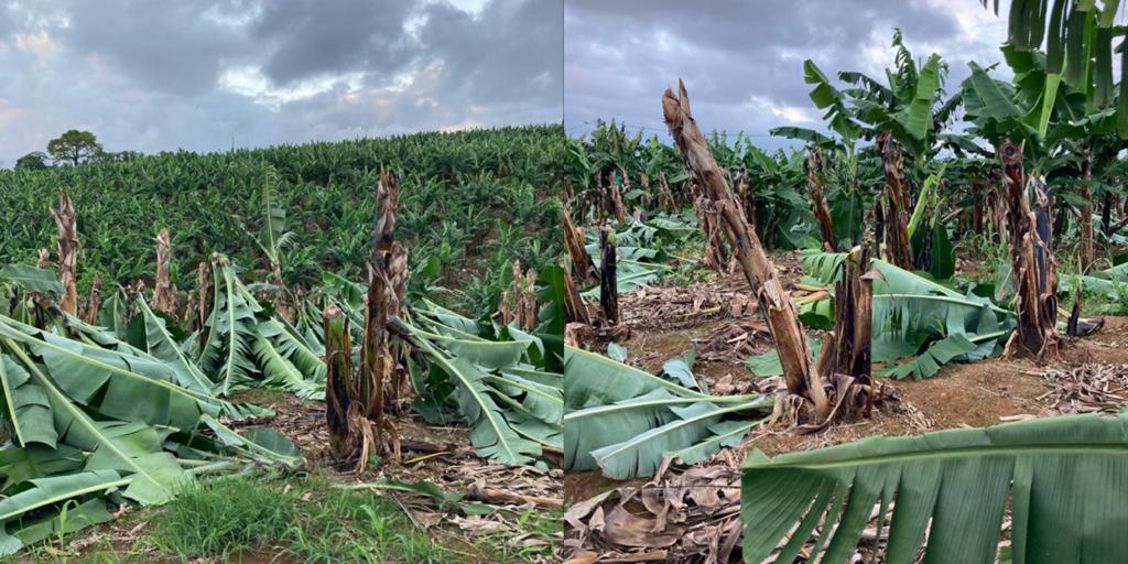 Plus de 1000 bananiers coupés dans un champ à Saint-Joseph