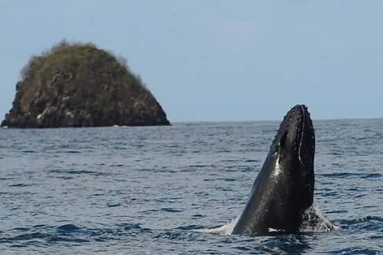 Le vrai du faux : la baleine à bosse qui nageait sur les réseaux sociaux