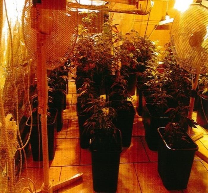 129 pieds d'herbe de cannabis saisis à Fort-de-France