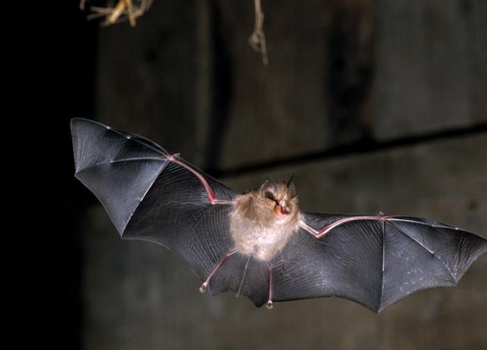 14 espèces de chauve-souris désormais protégées