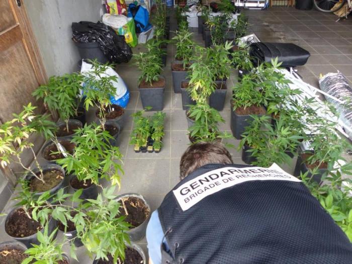 178 pieds de cannabis saisis au Moule