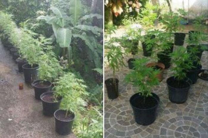 49 plants de cannabis découverts dans une maison au Vauclin