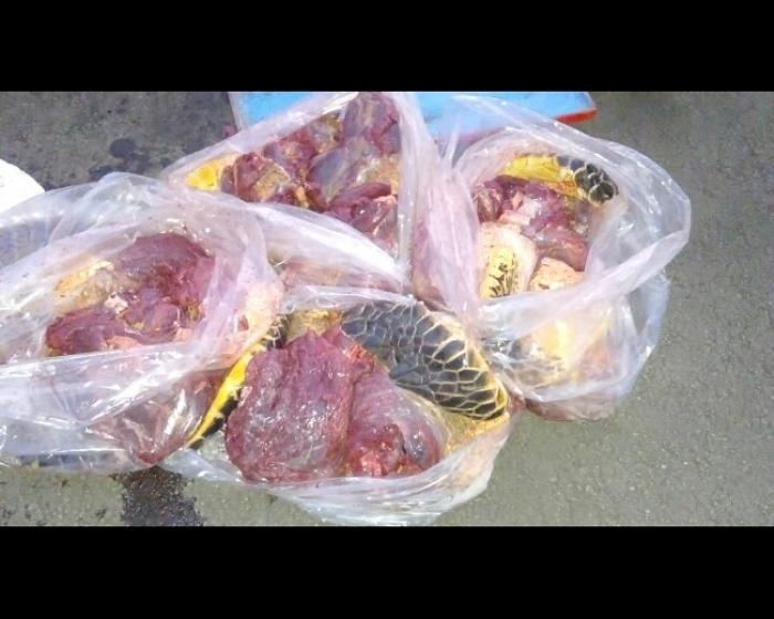 75 kilos de chair de tortue et 30 kilos d'oursin saisis sur une yole