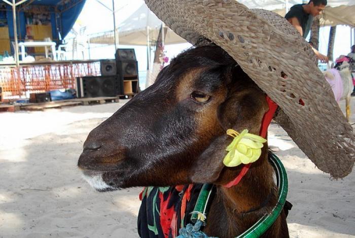 A la Désirade, la fête du cabri une alernative pour fêter la Pâque