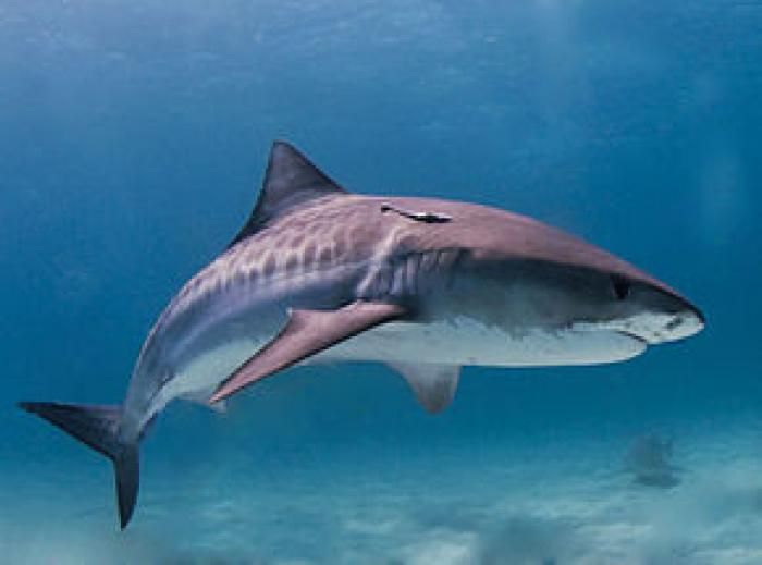 A la recherche du requin aperçu sur la plage de Roseau