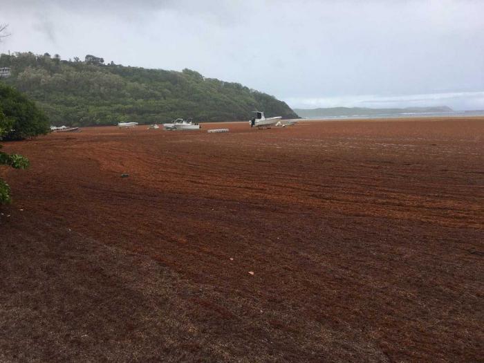 Algues sargasses : fermeture des écoles du Robert